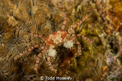 Boxer Crab by Todd Moseley