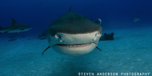 Tiger Sharks are always curious and have no problems comi... by Steven Anderson