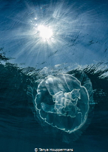 Sun and Moon A moon jelly in the waters off of Key West,... by Tanya Houppermans
