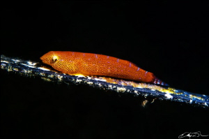 Eastern Cleaner Clingfish, Cochleoceps orientalis.  Name... by Kris O'keeffe