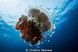 Rhizostome Jellyfish and a colony of inhabitants by Christine Albanese