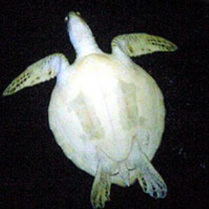 Turtle at night in cave-Sony Mavica 90/Ikelite housing by Martin Dalsaso
