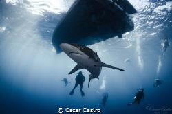 Silky Shark, Playing with sharks, Jardines de la Reina. Cuba by Oscar Castro