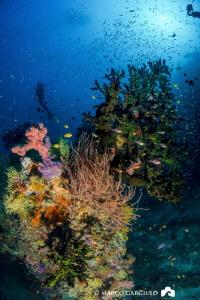 Giant Green Tubastrea Coral @ Dharavandhoo by Marco Gargiulo