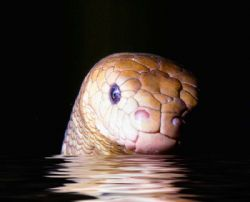 SEA SERPENT! Olive sea snake; Loloata Island, PNG. Housed... by Rick Tegeler