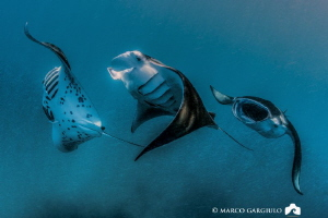 Manta Rays Train @ Hanifaru Bay by Marco Gargiulo