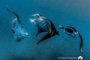 Manta Rays Train @ Hanifaru Bay by Marco Gargiulo