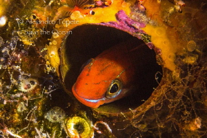 Blenny in circle, Galapagos Ecuador by Alejandro Topete