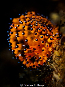 Frizzy ... Nudibranch - Janolus sp. Bali, Indonisia by Stefan Follows