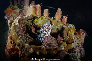 Home Sweet Home A spotted moray has made a home for itse... by Tanya Houppermans