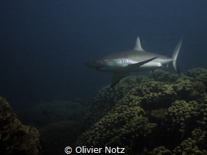 Grey reef shark at Ningaloo Reef, near Coral Bay by Olivier Notz