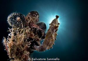 St. seahorse by Salvatore Ianniello