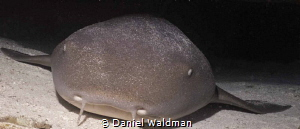 Nurse Shark resting in cave     by Daniel Waldman
