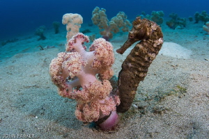 Seahorse in its environment. Secret Bay Anilao by John Parker