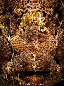 Teddy ... Giant Frogfish - Antennarius Commerson. Bali, I... by Stefan Follows