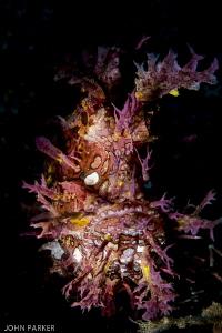 Purple Rhinopia Aphol Anilao by John Parker