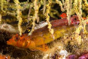 Hiding in Coral, Galapagos Ecuador by Alejandro Topete