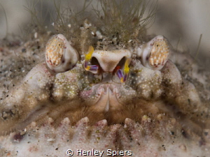 Samurai Box Crab -  this crab's face reminds me of a Samu... by Henley Spiers