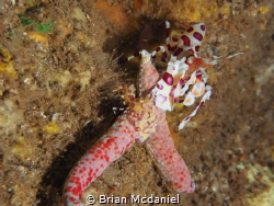 Harlequin Shrimp by Brian Mcdaniel