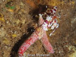 Harlequin Shrimp by Brian Mcdaniel