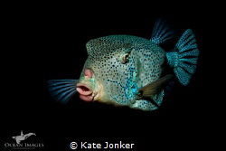 Box Fish taken on a night dive in the Red Sea. by Kate Jonker