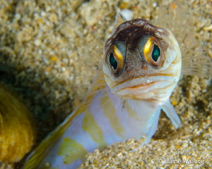 The glare.  Jawfish moving between burrows, suddenly surp... by Elaine Wallace