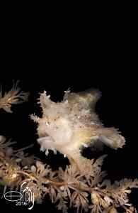 Sargassum frogfish by Dray Van Beeck