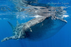 Whaleshark in surface, Isla Contoy Mexico by Alejandro Topete