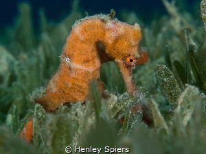 Seahorse in the Seagrass by Henley Spiers