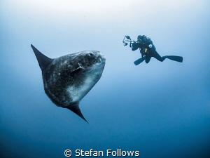 Lights, Camera, Action. Southern Ocean Sunfish - Mola ram... by Stefan Follows