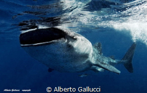 Whale shark by Alberto Gallucci