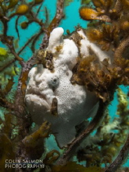 Painted frogfish (Antennarius pictus) Dauin, Philippines... by Colin Salmon