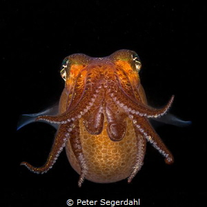 Sepietta oweniana
