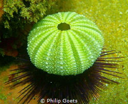 The living and the dead.......sea urchin hiding under a s... by Philip Goets