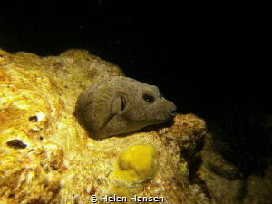 Night dive pufferfish having a nap by Helen Hansen