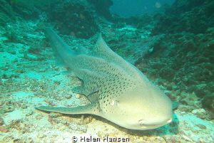 Leopard Shark , he was totally relaxing only 4 divers so ... by Helen Hansen