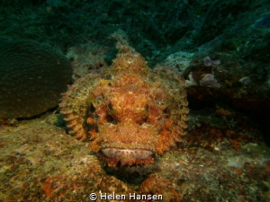 One good looking Stone fish by Helen Hansen