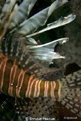 lion fish by Enrique Pascual