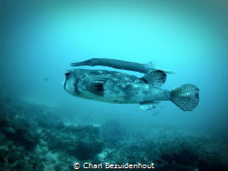 """I saw this """"Double-Decker"""" fish on a dive by Charl Bezuidenhout"""