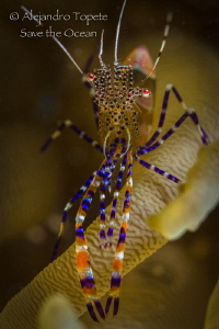 Fantasy Shrimp close up, Bonaire by Alejandro Topete