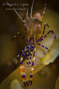 Fantasy Shrimp close up, Bonaire by Alejandro Topete