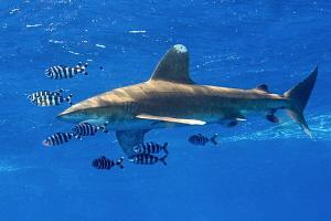 Oceanic white tip shark. by Mehmet Salih Bilal
