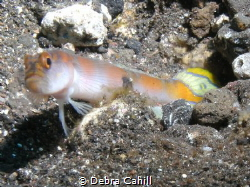 Flag Tail Shrimp-Goby Tulamben Bali by Debra Cahill