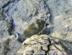 My favorite, the Unicorn Fish! by Alison Ranheim