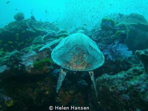 Turtle by Helen Hansen