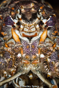 Tough Guy Lobster by Henley Spiers