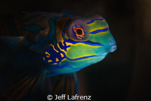 Mandarinfish - the Beauty Queen of the Sea!!! One of the ... by Jeff Lafrenz