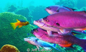 I noticed this school of Creole Wrasse hanging around a c... by Jeff Lafrenz