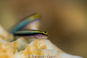 Goby Fish, the Dental Hygienist of the Seas ! These two l... by Behnaz Afsahi