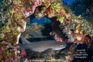 A baby nurse shark tucked inside a colorful overhang. Thi... by Susannah H. Snowden-Smith